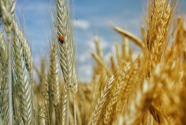 Ein sonnenbeschienenes Feld vor blauem Himmel mit vielen reifen Getreideähren. Auf einer sitzt ein Marienkäfer.