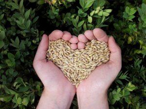 Zwei Hände halten Dinkelkörner, die ein Herz formen.