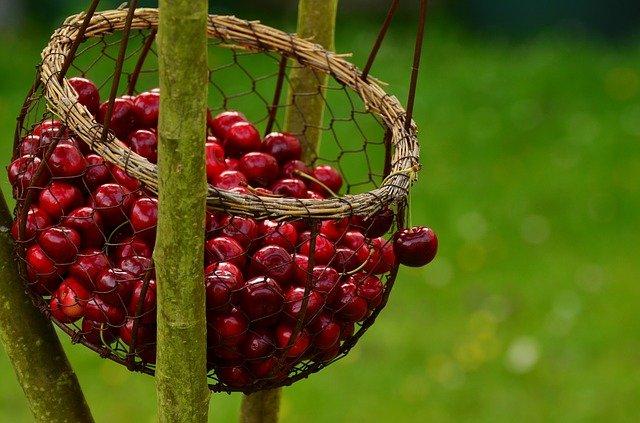 In einem Körbchen werden frisch gepflückte Kirschen aufgefangen