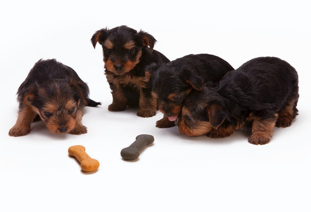 Vier Welpen sitzen vor zwei Hundekeksen in Form von Knochen